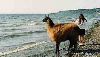 Llama on the beach