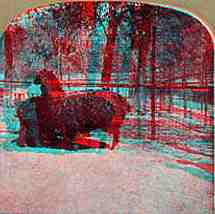 Stereoview picture of alpacas in Central Park