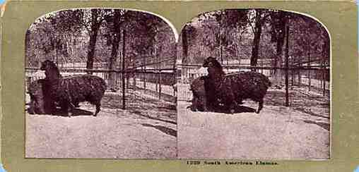 Stereoview picture of llamas in Central Park