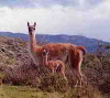 Chulengo with guanaco mom in Patagonia