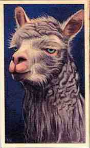 Dutch alpaca card