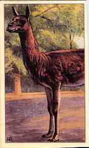 Dutch guanaco card