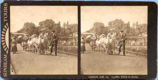 Stereoview of llamas at London Zoo