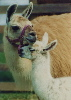 Llama cria with her mother