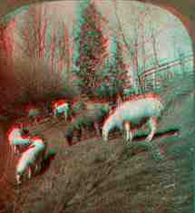 Anaglyph stereoview picture of llama in Mount Lehman