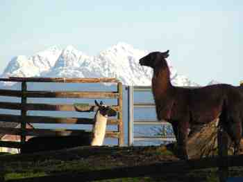 Llamas and the Golden Ears