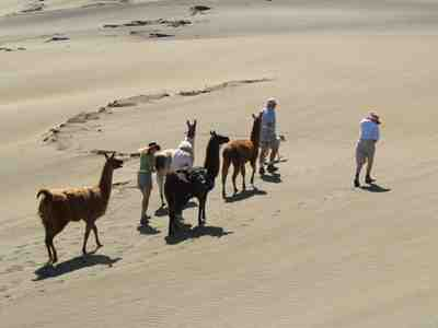 llamas in the sand dunes