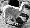 Two alpacas in Peru