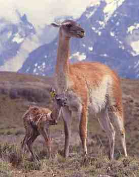 Guanaco leaving with tagged baby