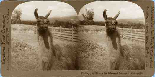 Stereoview picture of llama in Mount Lehman