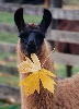 Llama with leaf in mouth