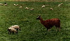 Llama guarding sheep