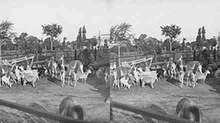 Stereoview picture of llamas in Buenos Aires zoo