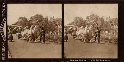 Stereoview picture of llamas pulling cart in the London Zoo