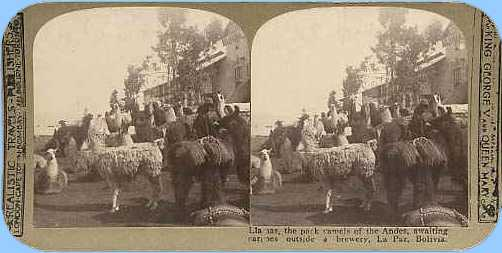 Stereoview picture of llamas in Bolivia