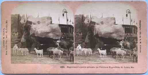 Stereoview picture of llamas in St. Louis