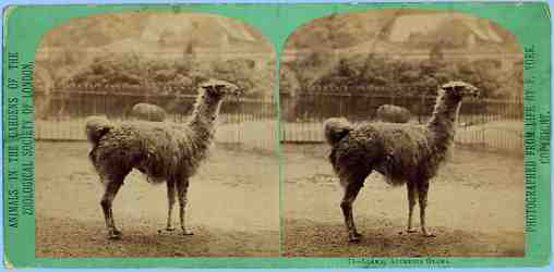 Stereoview of llama at London Zoo