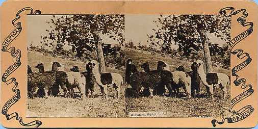 Stereoview picture of alpacas
