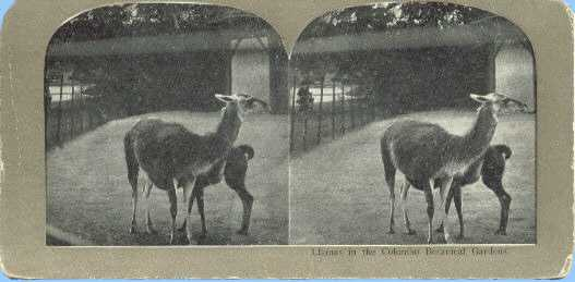 Stereoview picture of llamas