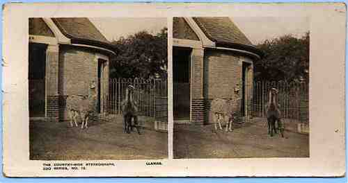 Stereoview picture of llamas in a zoo