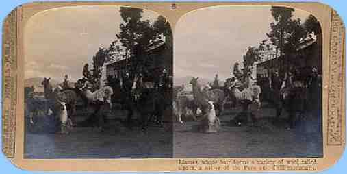 Stereoview picture of llamas in Chile