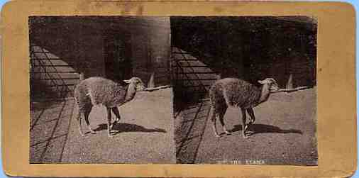 Stereoview picture of a llama