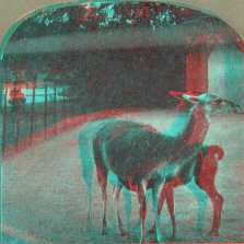Anaglyph stereoview picture of llamas
